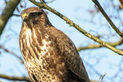 Wildlife at Riddings Wood: Buzzard