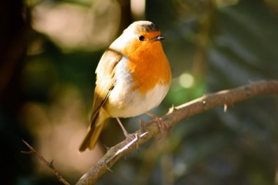 Wildlife at Riddings Wood: Robin