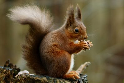 Wildlife at Riddings Wood: Squirrel